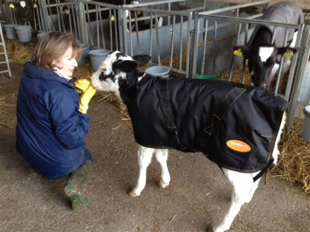 One of the calfs sporting their new jacket!